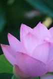 lotus4s